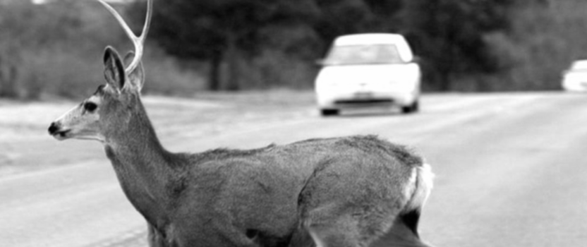 An Auto Insurance Story: Watch Out for that Deer!